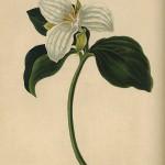 Margaret Roscoe 'Trillium Grandiflorum'