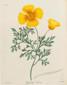 Eschscholtria Californica California Poppy Margaret Roscoe