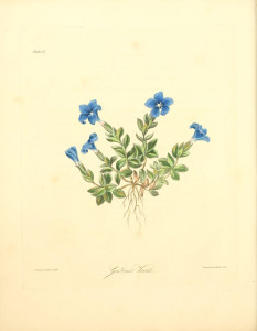 Gentiana Verna Spring Gentian Margaret Roscoe