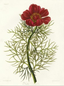 Paeonia Tenaifolia Fern Leaf Peony Margaret Roscoe
