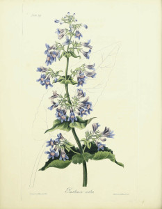 Roscoe, Margaret (1786-1840) - Floral Illustrations of the Seasons 1831 - Penstemon Ovatus